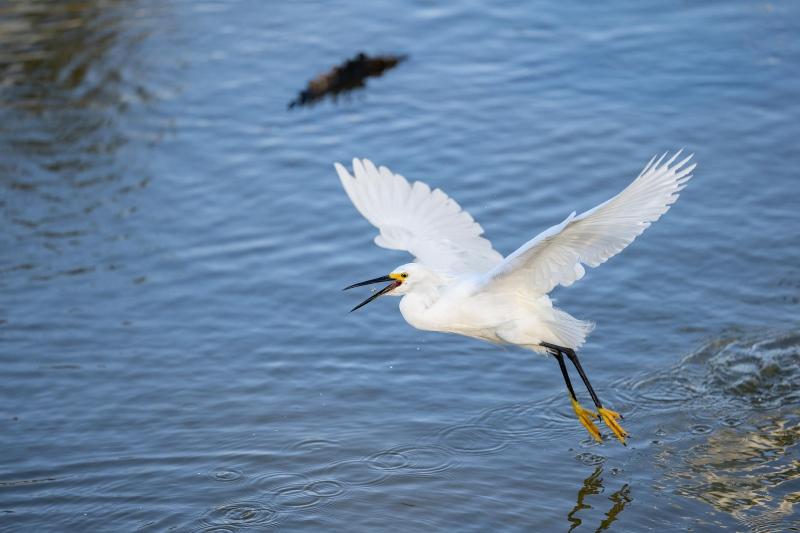 Snowy-Egret-3200-dip-feeding-catch-_DSC3915-Merritt-Island-NWR-FL