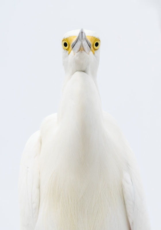 Snowy-Egret-3200-head-and-neck-from-below-_A1B6946-Fort-DeSoto-Park-FL