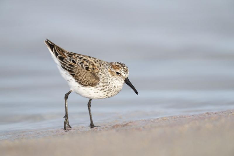 Western-Sandpiper-3200-BLOG-molting-to-beeding-plumage-_A1B9574-Fort-DeSoto-Park-FL-