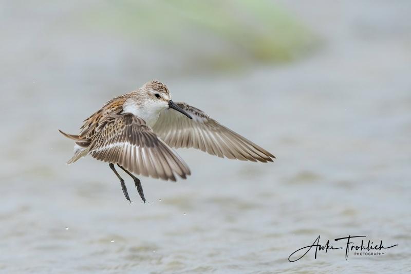 Western-Sandpiper-SIG-juvenile-flapping-after-bath-_A1B8170-Nickerson-Beach-LI-NY
