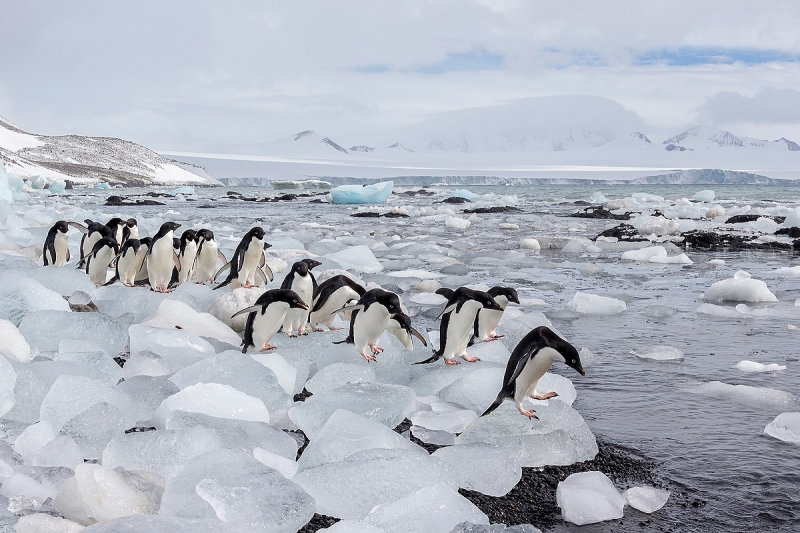 clemensAdelie-penguins-lined-up-on-ice-blocks_E7T8159-Brown-Bluff-Antarctica