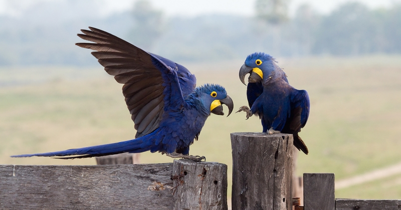 Macaws discussing